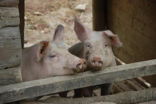 Auch liebe Schweine wohnen auf dem Bauernhof