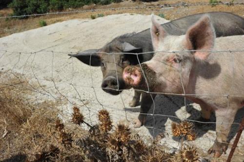 Die neugierigen Schweine auf unserem Bauernhof in Sardinien